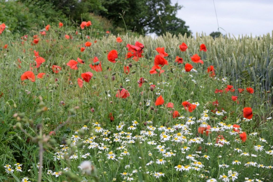 field corner filled with poppies and mayweed