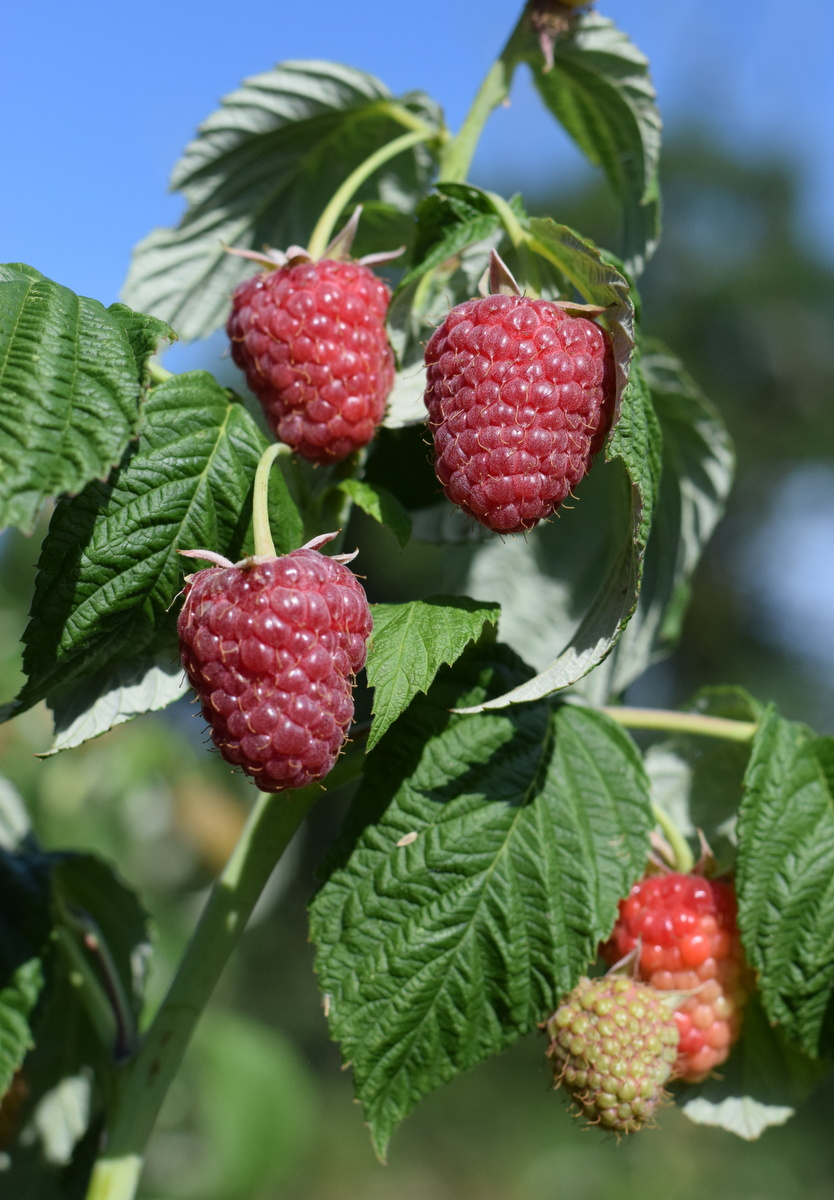 raspberries growing in field Essex UK