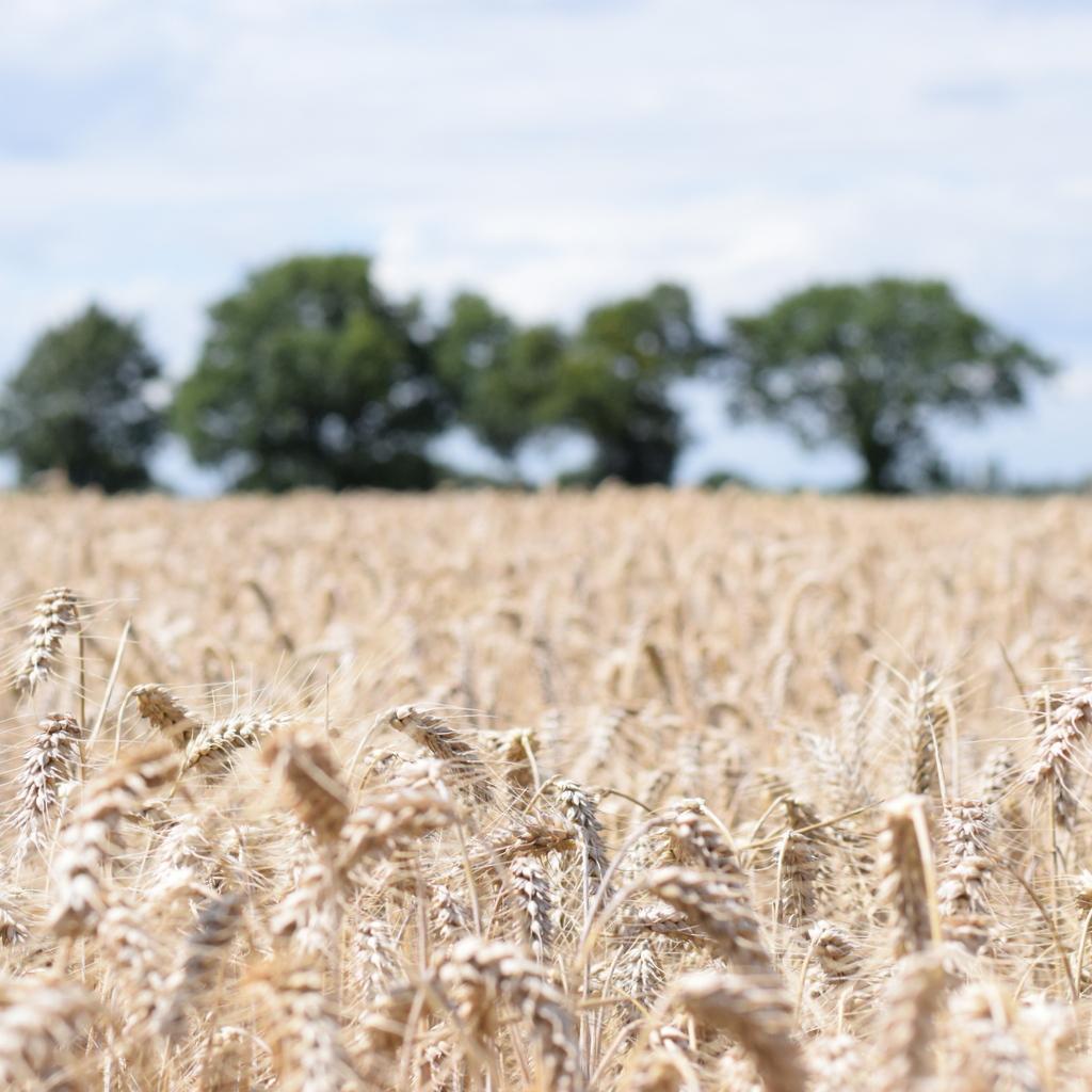 Skyfall wheat growing on Essex farm