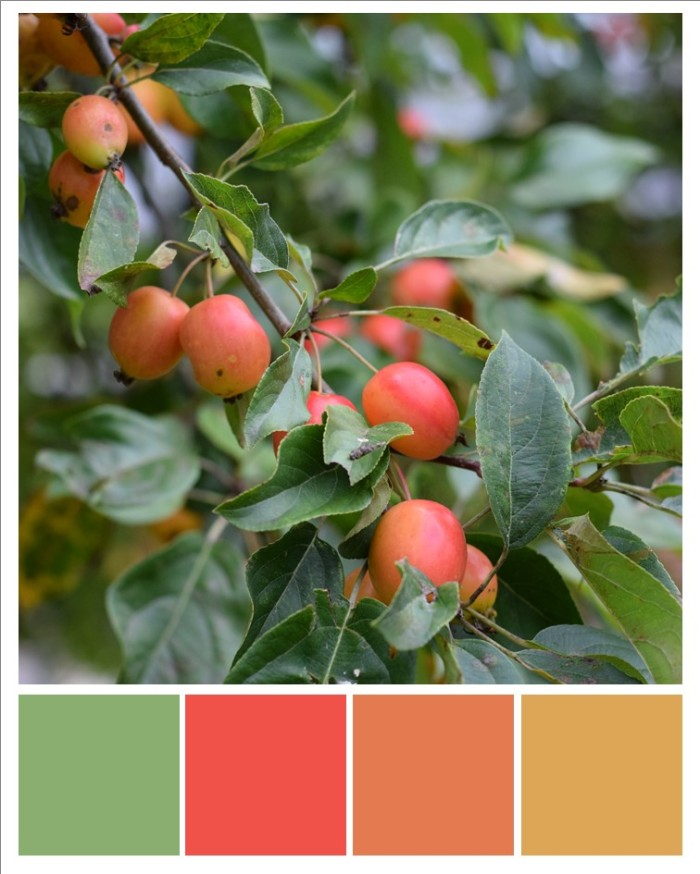 Crab apples growing on tree in late summer with colours picked out