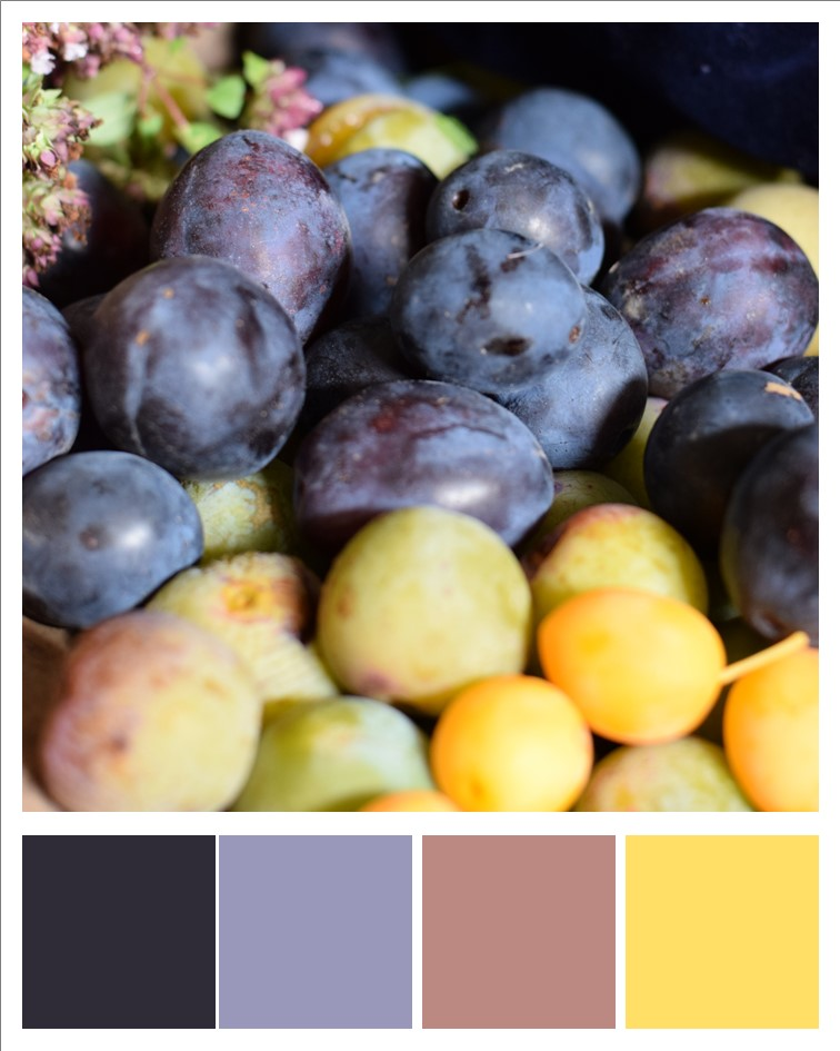 Freshly picked late summer plums, damsons and greengages with colours picked out
