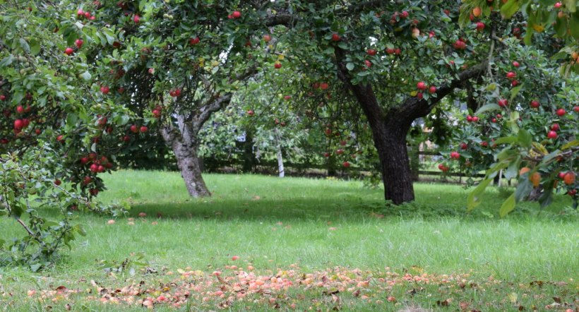 discovery apple trees in orchard in late summer with crab apples on grass