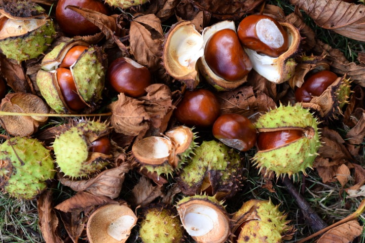 conkers lying on the ground under horse chestnut tree