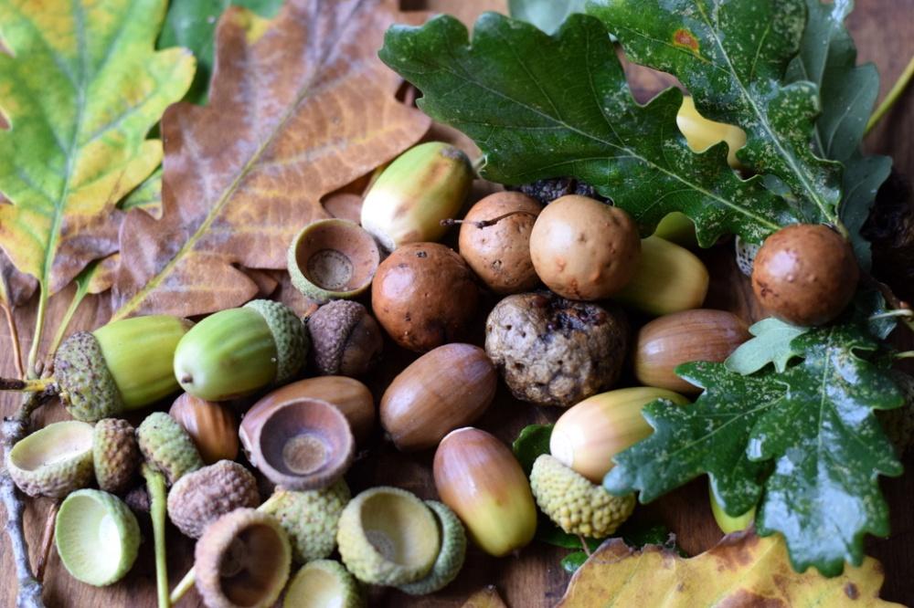 oak leaves, oak apples and acorns