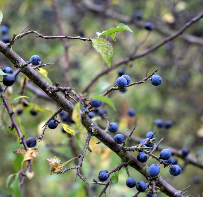 sloes on blackthorn hedge showing sharp thorns