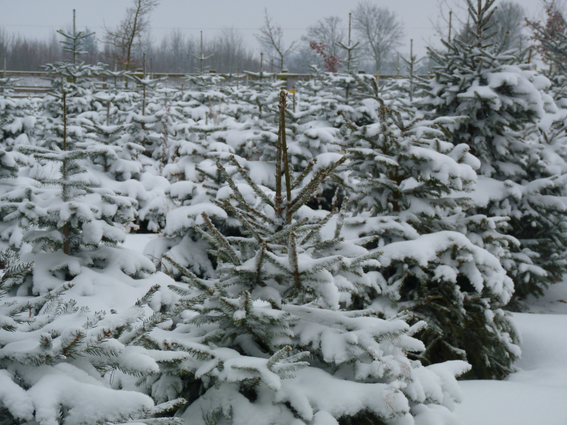 Christmas trees growing in snowy field in Essex, UK