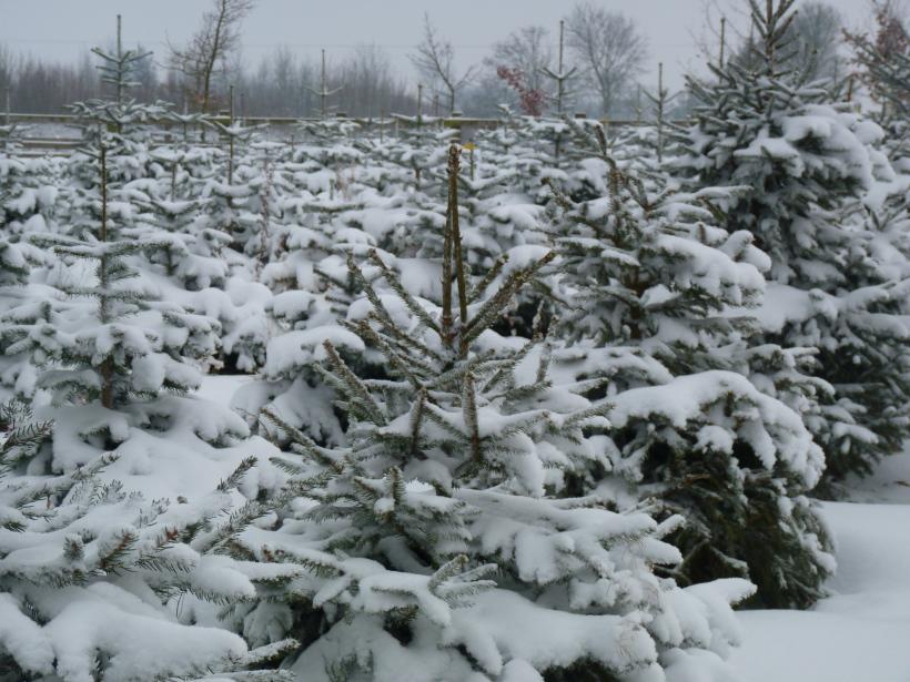 Christmas trees growing in snowy field in Essex, UK