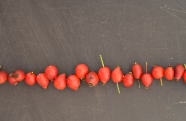 rosehips on blackboard