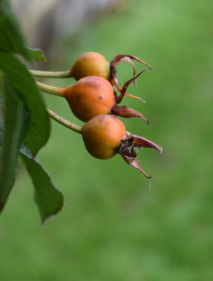 autumn rosehips on Generous Gardener rose