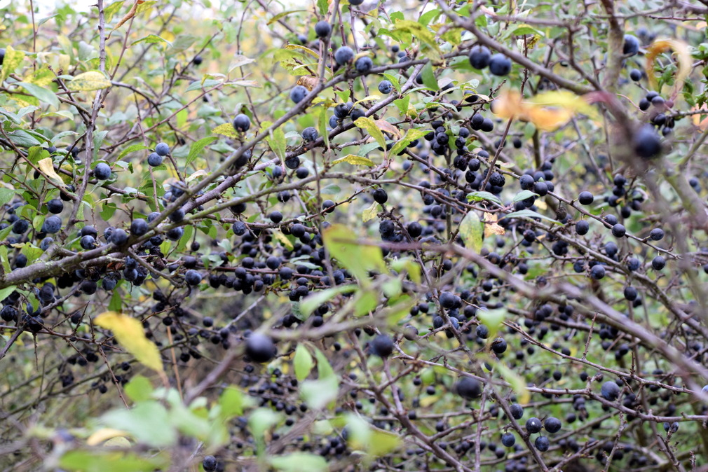 sloes growing on blackthorn bush