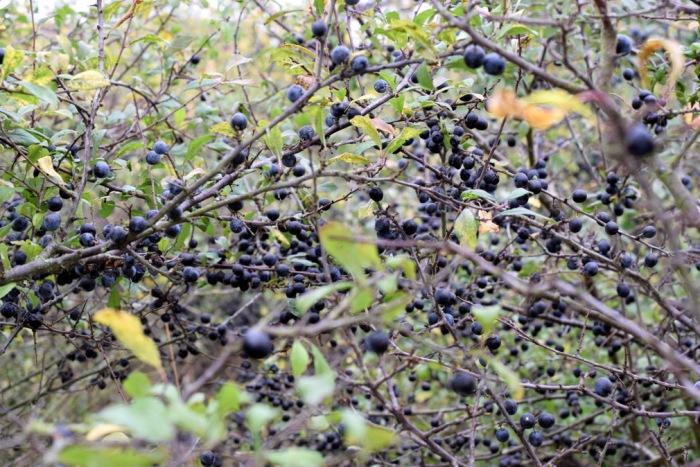 sloes growing on blackthorn bush