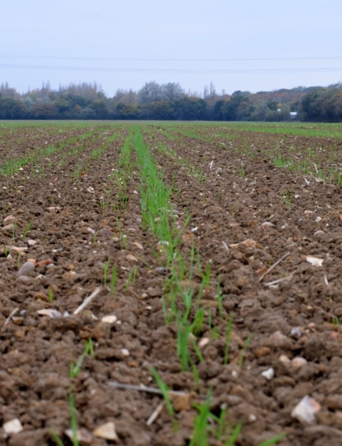 winter wheat crop emerging in field Essex UK