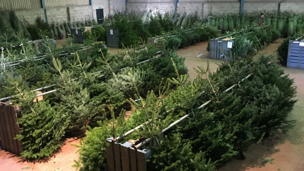 Barn filled with Christmas trees for sale