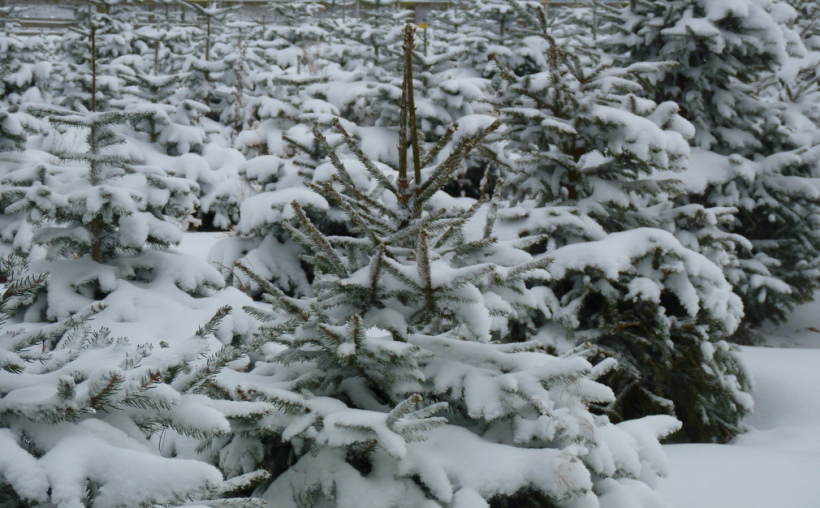 Christmas trees in snow at Slamseys Farm