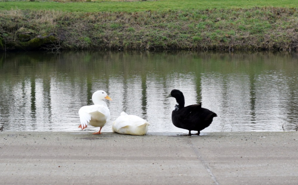 Ducks by the pond at Slamseys