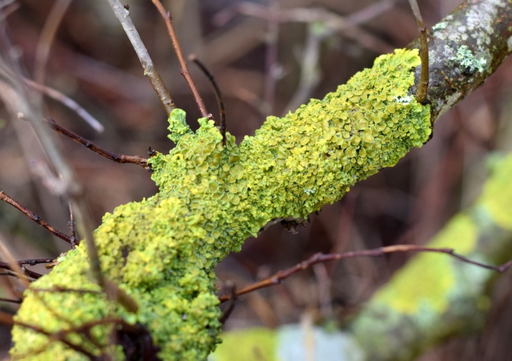 Lichen growing in hedge