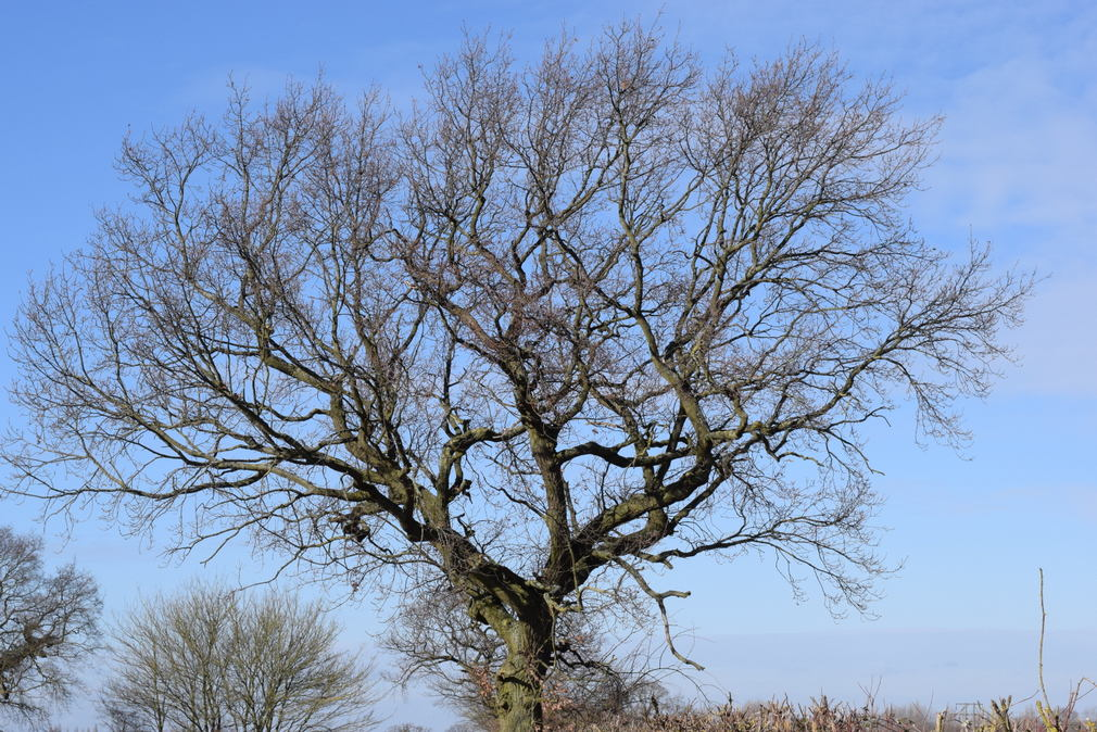 Oak tree in winter against blue sky