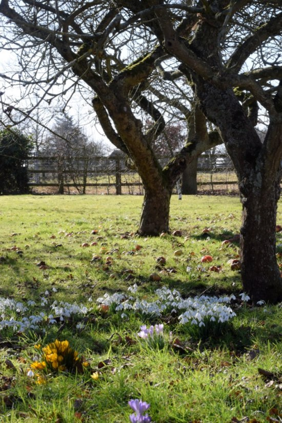 Scattering of snowdrops and crocus underneath apple tree on a late winter afternoon