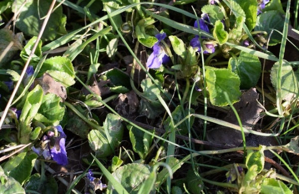 Violets growing in grass under tree on farm