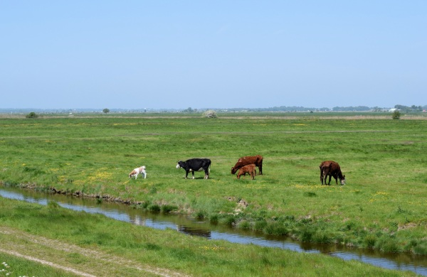 Cattle grazing on marshland west of Great Yarmouth