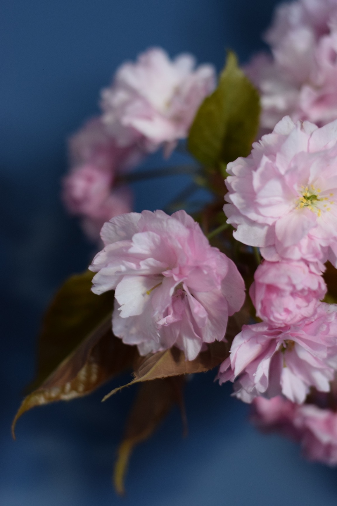 Cherry blossom with blue background