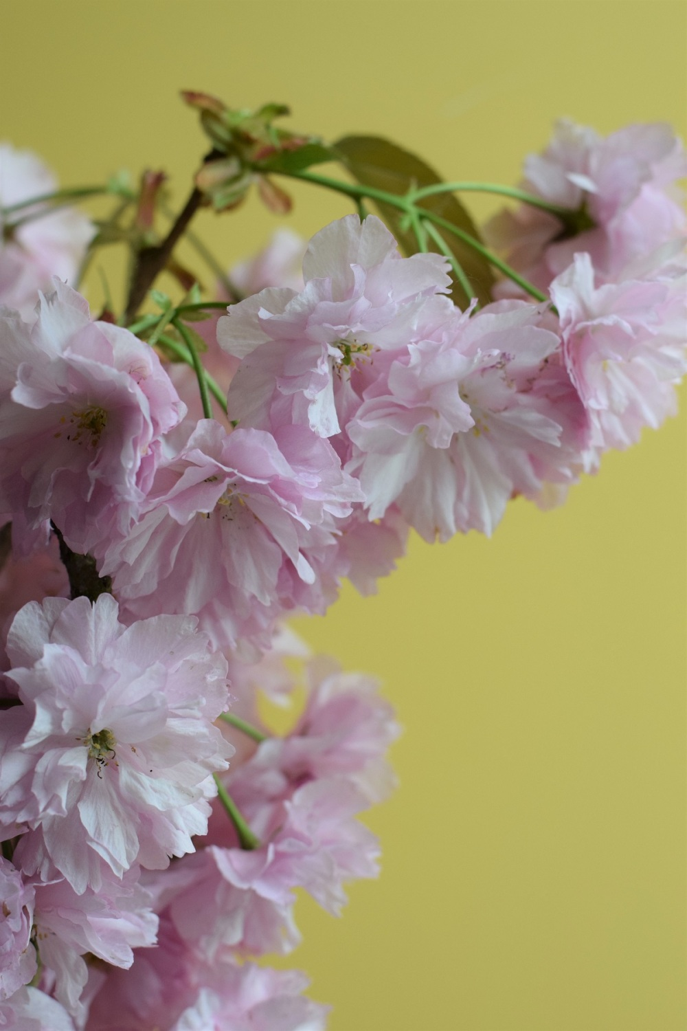 Cherry blossom with yellow background