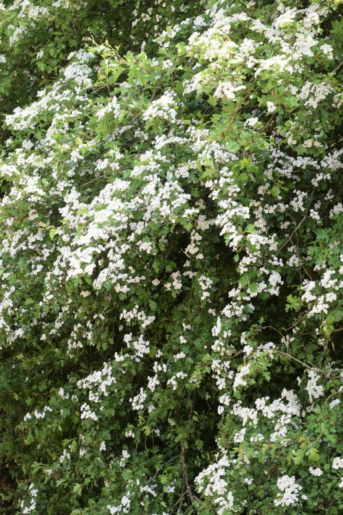 hawthorn hedge with May blossom