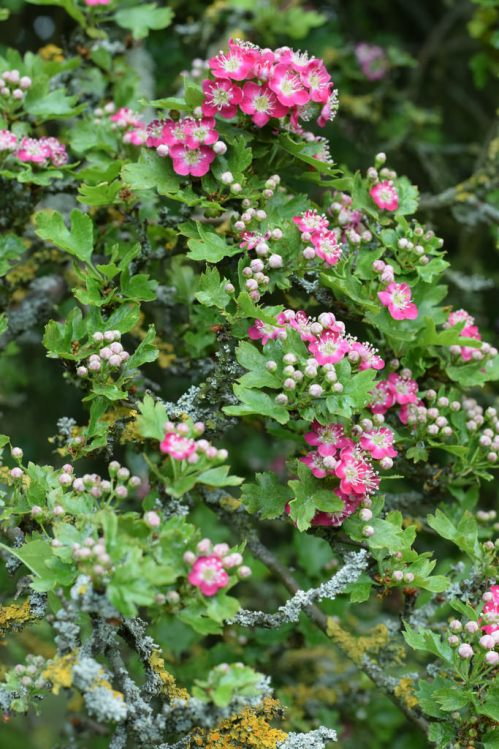 Pink hawthorn flowers and lichen on branches