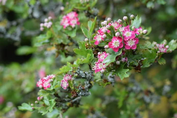 Pink Hawthorn flowers on gnarled tree