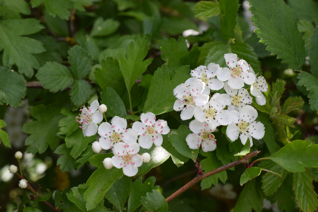 White May blossom in hawthorn hedge