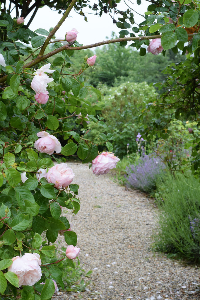 Generous Gardener Rose in front of herbaceous border in English country garden