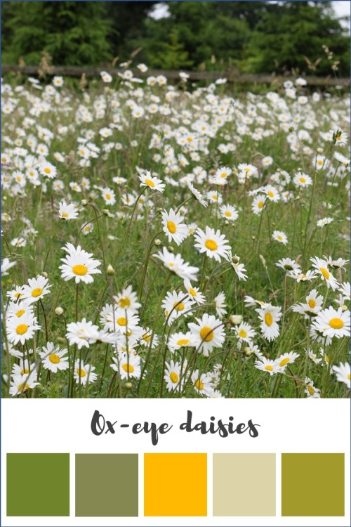 ox eye daisies in meadow with colours picked out below