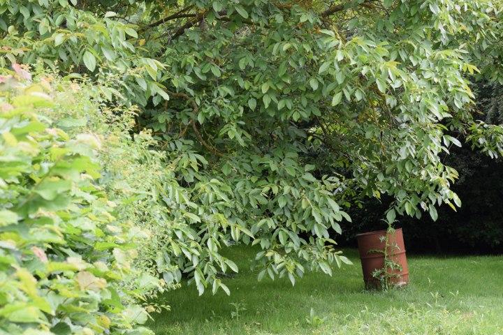 rusting barrel under walnut tree in grassy area