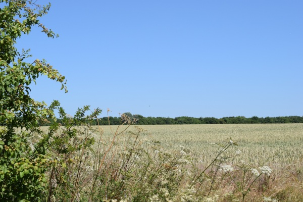 Field of wheat at Slamseys Farm July 2018