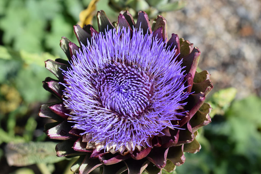 globe artichoke coming into flower