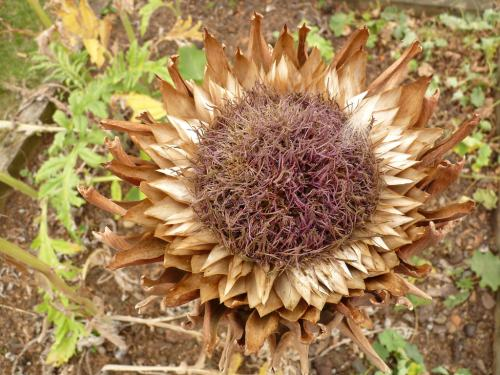 globe artichoke decaying flower in autumn