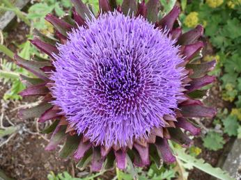 globe artichoke in flower