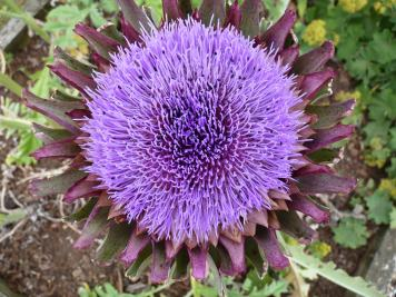 globe artichoke in flower
