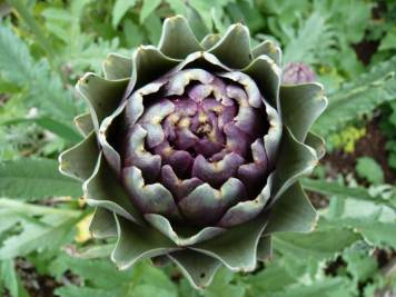 globe artichoke growing in garden