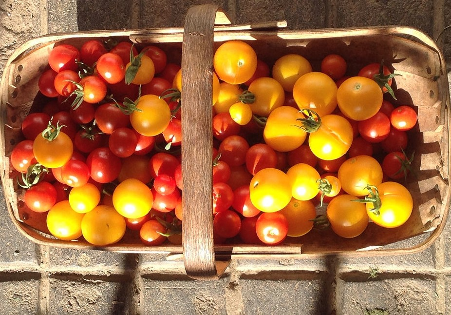 Yellow and red tomatoes in trug waiting to be preserved