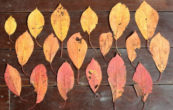 autumn leaves arranged in rows