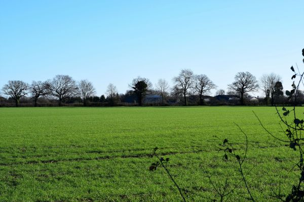 Looking across a field of wheat to the farm buildings
