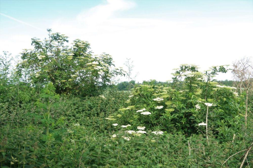 Elderflowers growing in mass of stinging nettles