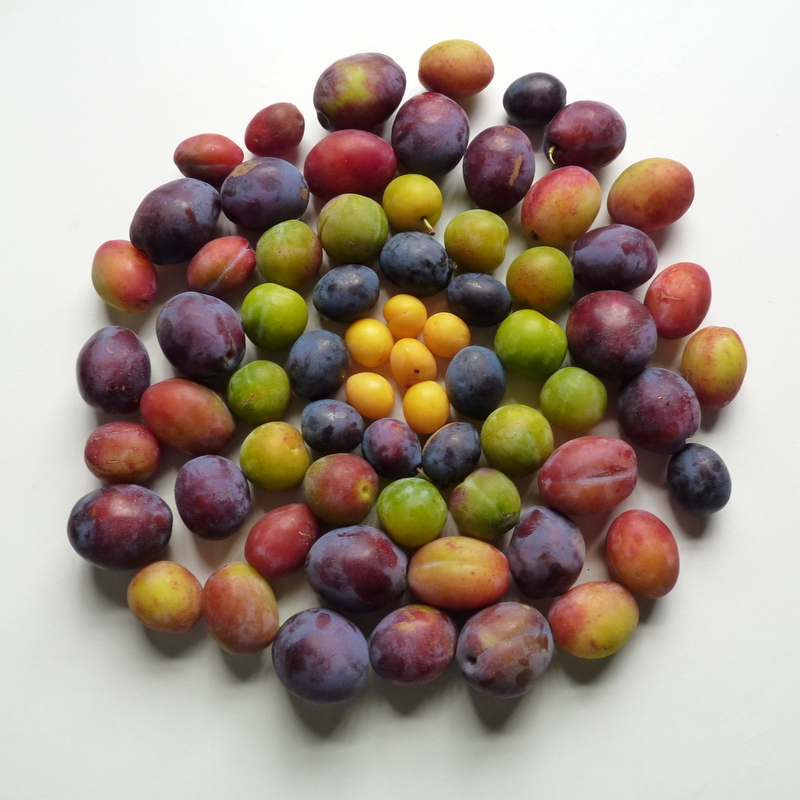 collection of different coloured plums arranged in a circle