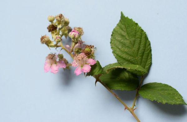 blackberry flowers and leaves