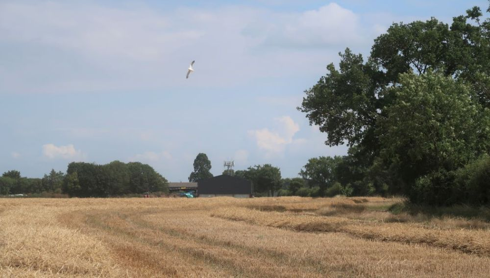 seagull flying over wheat stubble field looking towards farm buildings