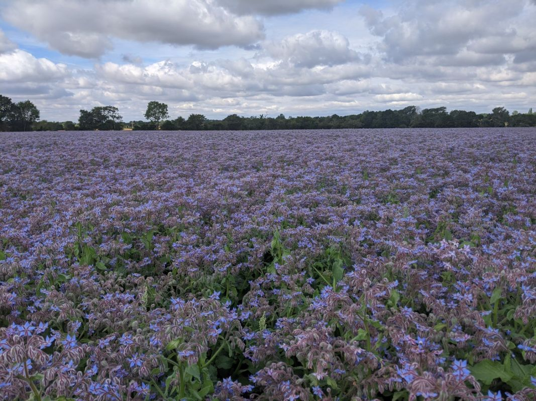 Field of flowering borage in Essex, UK