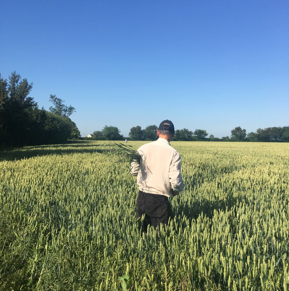 Pulling wild oats in a field of wheat